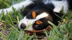 dog breed(1.0), animal(1.0), puppy(1.0), dog(1.0), grass(1.0), mammal(1.0), close-up(1.0), bernese mountain dog(1.0),