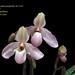 Paphiopedilum deperle  -  cultivo Miguel Leite