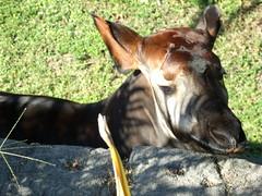 pack animal(0.0), animal(1.0), okapi(1.0), fauna(1.0), giraffidae(1.0), wildlife(1.0),