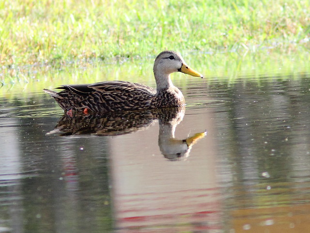 Mottled Duck 20121211