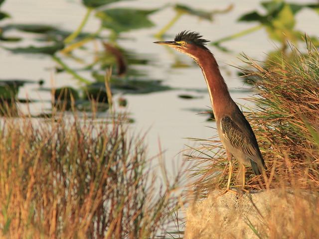 Green Heron 7-20121211