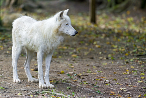 Polar wolf in the woods... by Tambako the Jaguar