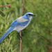 Florida Scrub Jay (endangered) by naturethroughmyeyes.com
