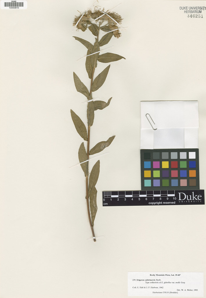 Asteraceae_Erigeron glabellus
