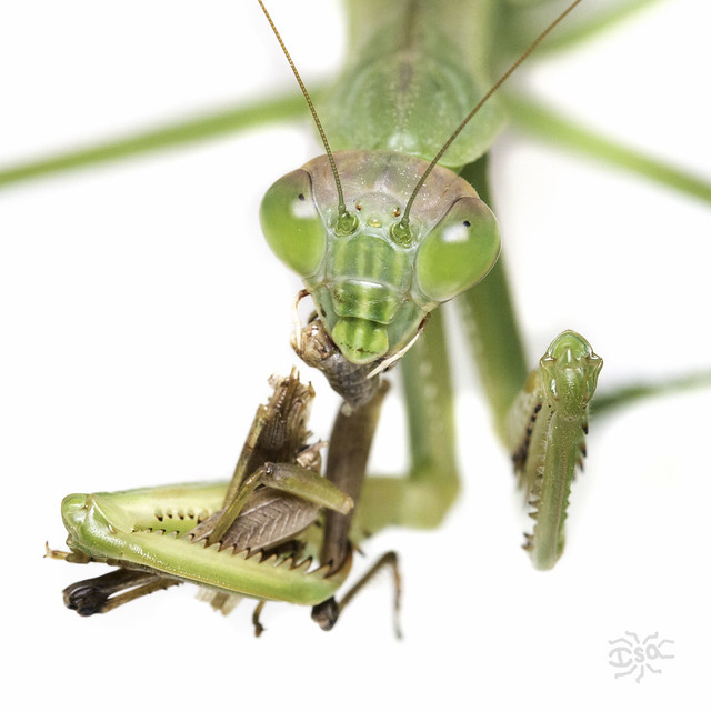 Close up photo of a praying mantis eating a grasshopper. The grasshopper is in the clutches of the praying mantis's raptorial front leggs and the body is in pieces.