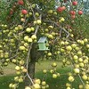 Picking apples in a student's backyard