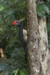 White-bellied Woodpecker - Baluran NP - East Java_MG_8564