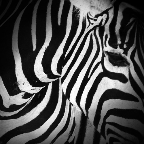 zebra by vdorse