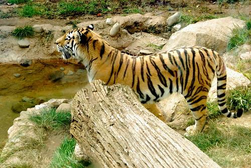 PZ - mama tiger-001
