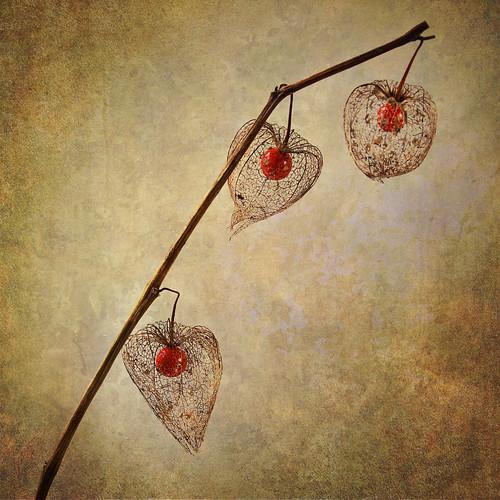 [フリー画像素材] 花・植物, ホオズキ ID:201211190400