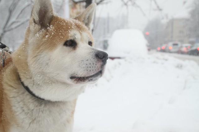 akita, Certified Doglovers
