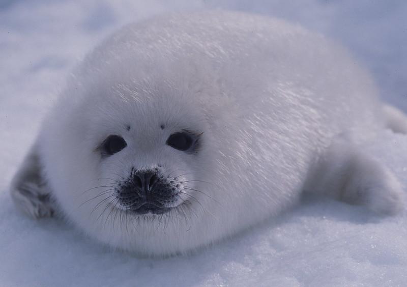 Harp seal pup on ice