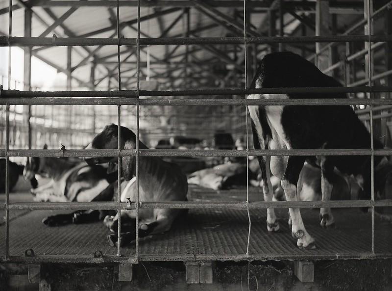 Dairy Goat farm visit