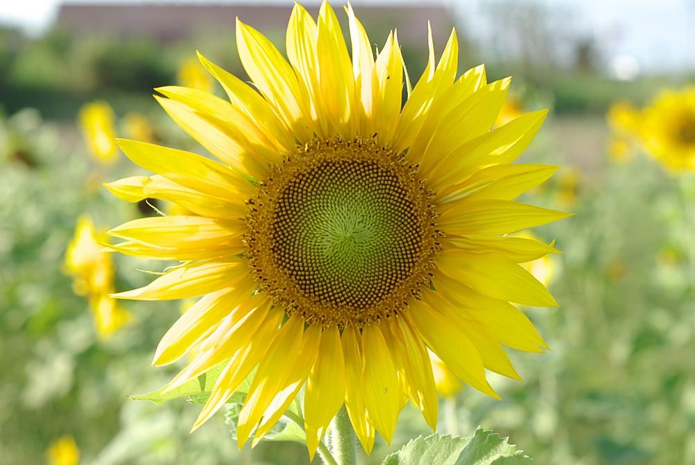 田裡的向日葵