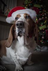 ho ho hi, from the Holiday Hound
