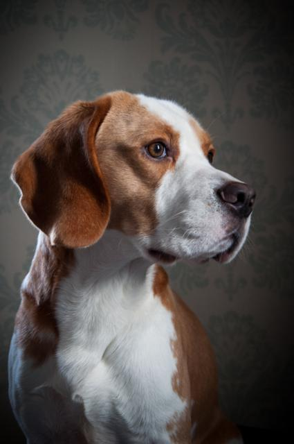 Brewster Beagle by Michelle Yorke, Boston, UK