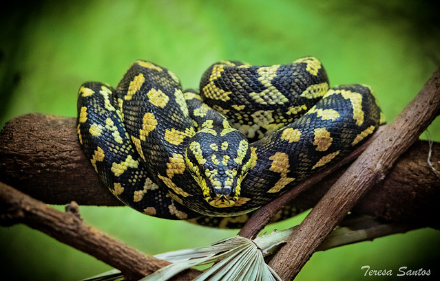Hissy, hissy, little snakey