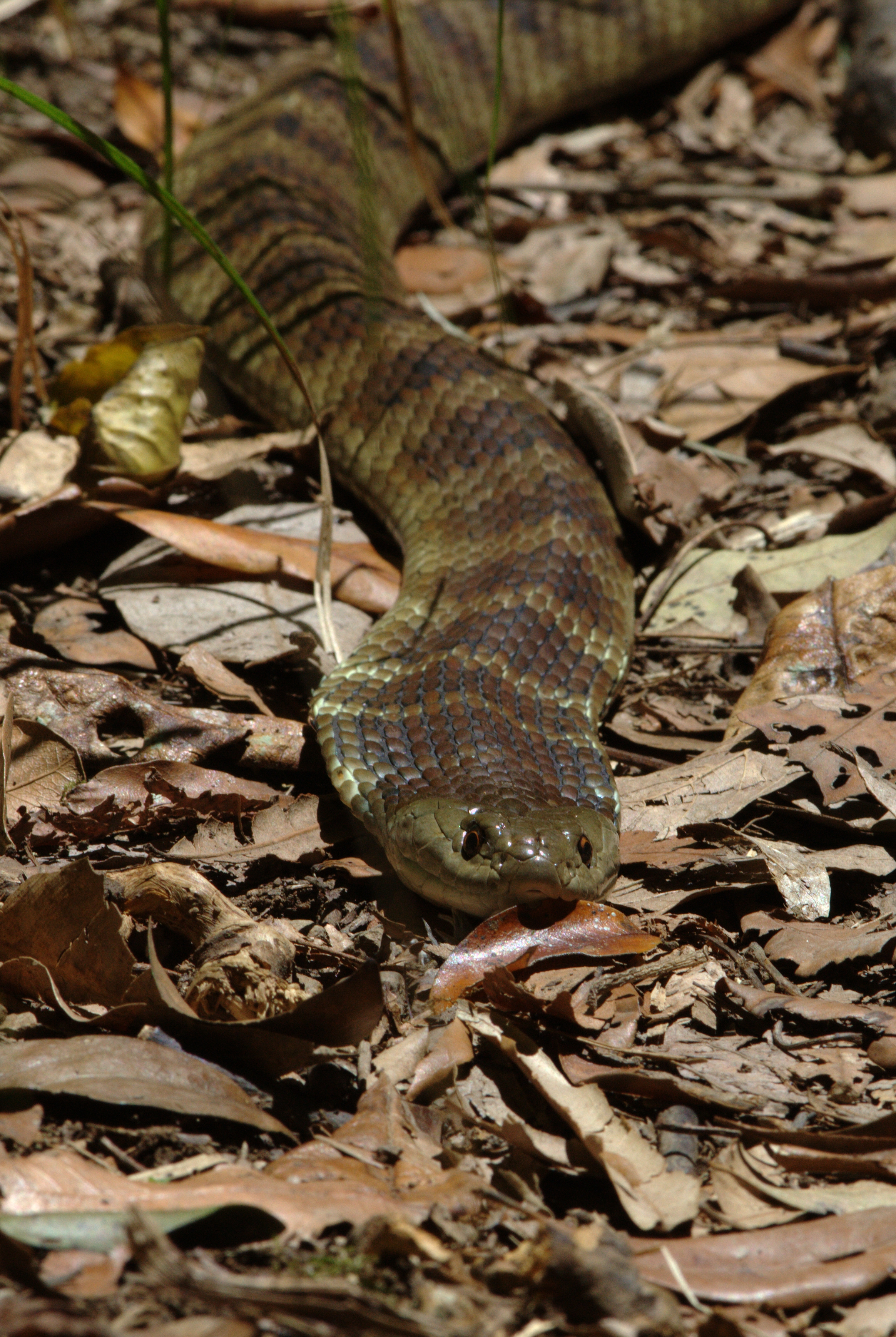 Tiger Snake | Notechis scutatus. You step on it, it bites ... - photo#23