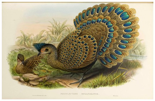 009-Malayan Peacock Pheasant-The birds of Asia vol. VII-Gould, J.-Science .Naturalis