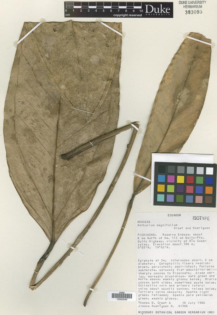 Araceae_Anthrium magnifolium