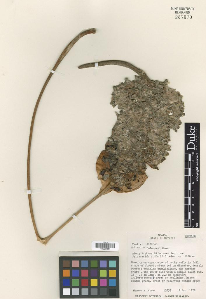 Araceae_Anthurium halmoorei