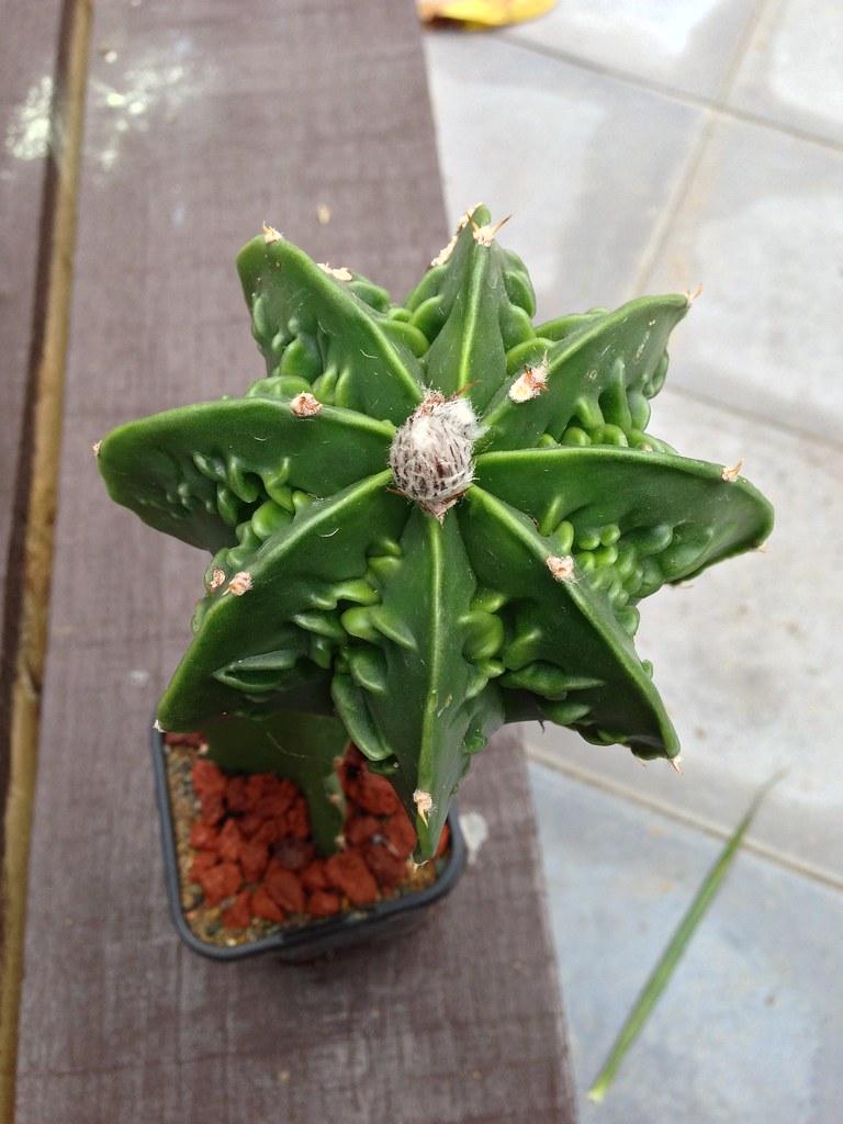 Astrophytum CV Fukuryu - Page 2 8282860517_bc255c1296_b