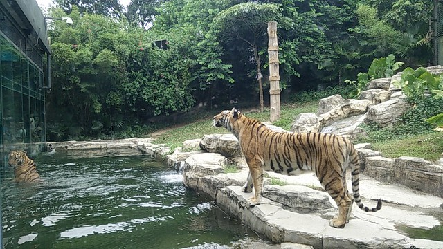 Tiger in water after jumping for food