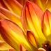 Dahlia Petals Red Yellow by Harold Davis
