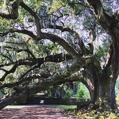 The Tree of Life, Audubon Park, New Orleans