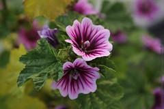 annual plant, geranium, flower, plant, malva, macro photography, wildflower, flora, petal,