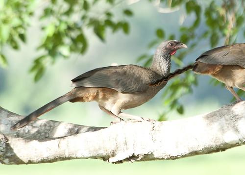 Pantanal chicken