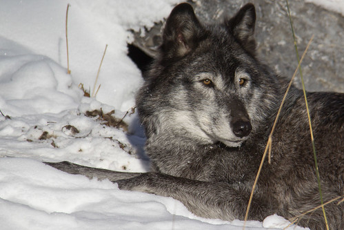 Wolf resting in the sun by begineerphotos