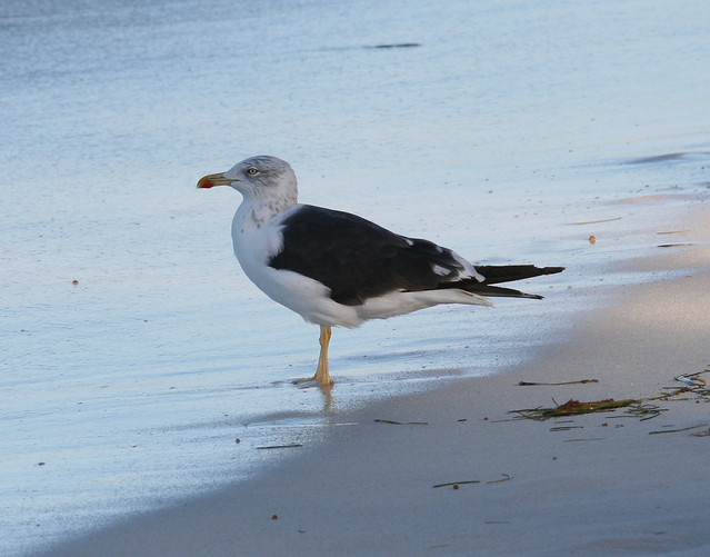 lesser black backed gull 01
