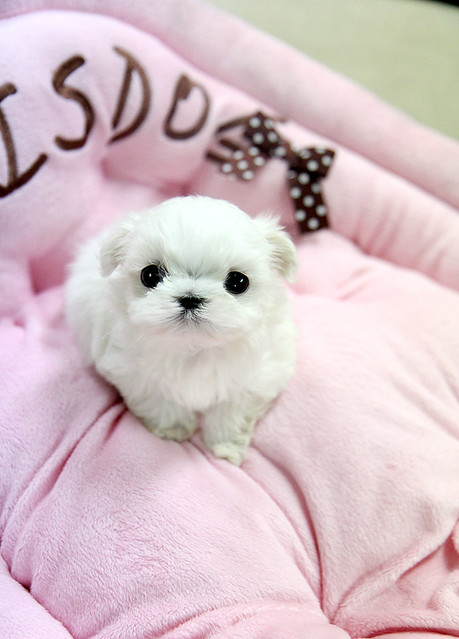 Adorable teacup maltese puppy | Flickr - Photo Sharing!