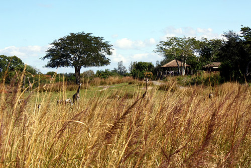 AK_SafariRide_Giraffe_Grasses