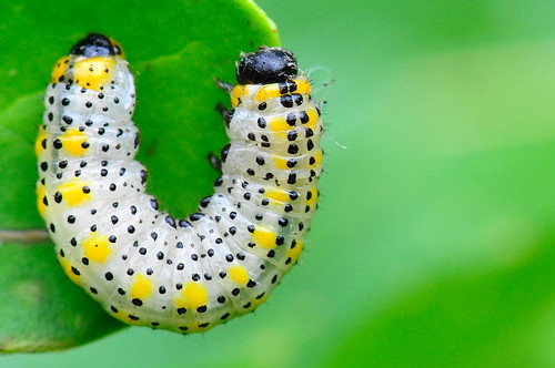 Berberis Sawfly Larva agrilus.blogspot.co.uk by Lamia textor
