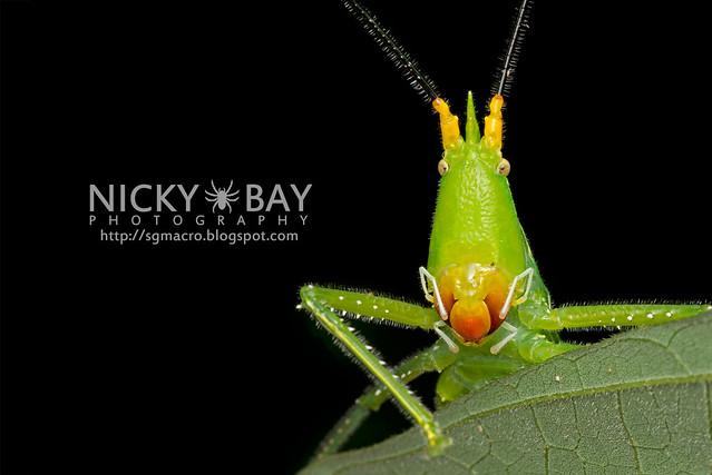 Katydid (Tettigoniidae) - ESC_0004
