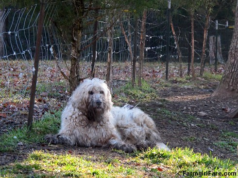 (6) Livestock guardian dog Marta Beast, aka Marta the Mess. There's just no keeping this hard working girl clean. - FarmgirlFare.com