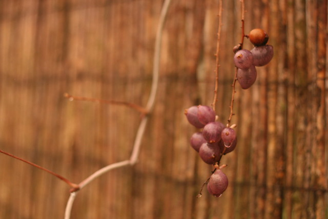 Close up - gooseberries? What are these?