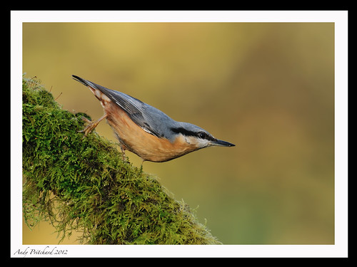 Nuthatch by Andy Pritchard - Barrowford