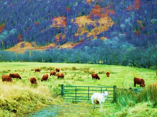 Highland Cows at Glen Nevis, Scotland