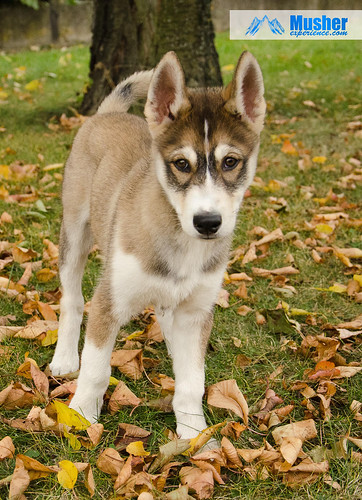 chiot husky puppy