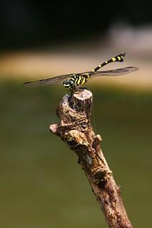 粗鈎春蜓就是都市公園中水池常見的大型蜻蜓,別看它漂亮的模樣,可是一流的昆蟲空中殺 手。  王力平攝