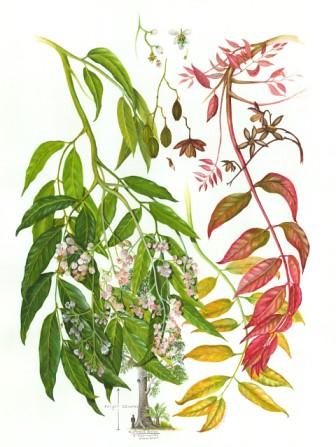 Moira Russell Toona ciliate (Australian Red Cedar)