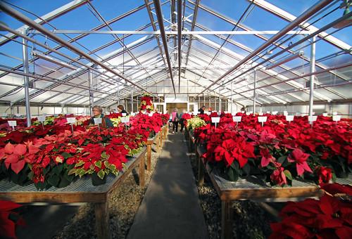 Poinsettias at MacFarlane Greenhouses