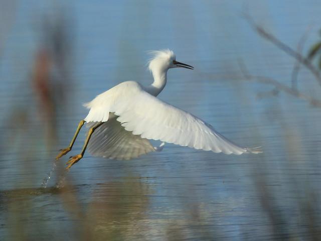 Snowy Egret liftoff 20121201