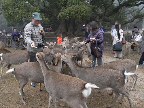 鹿寄せ@奈良公園(飛火野)-10