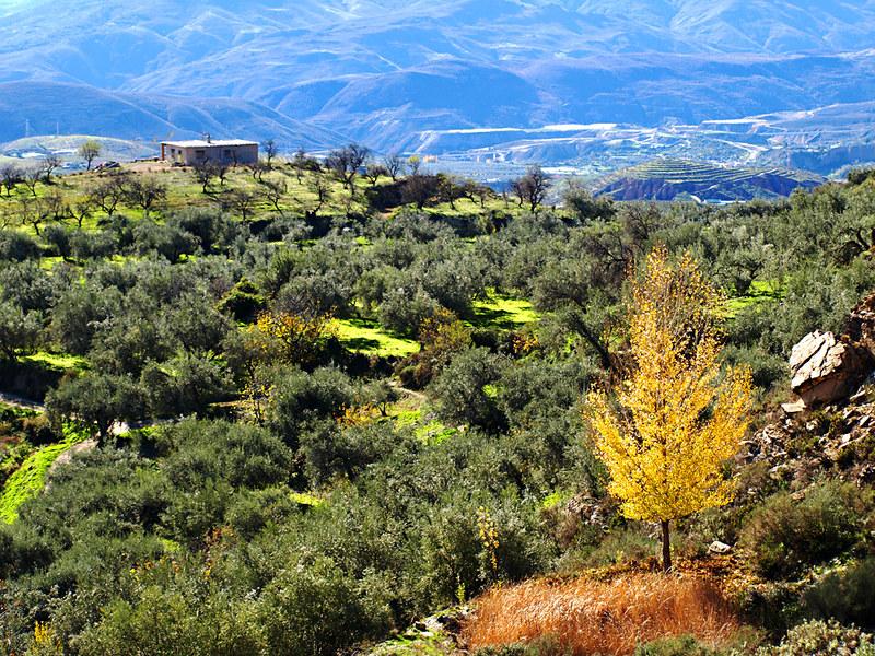 An Olive Landscape, Las Alpujarras, Andalucia