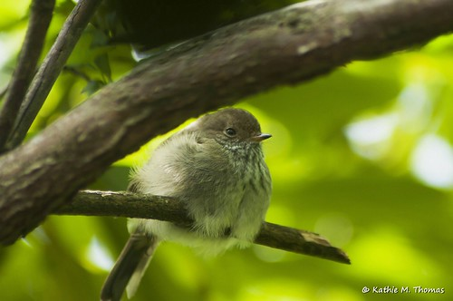 Baby Brown Thornbill