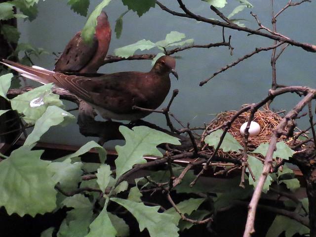 Passenger Pigeon nest